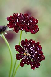 Scabiosa atropurpurea 'Black Cat'. Scabious with hoverfly