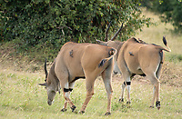 Red-billed Oxpeckers, Buphagus erythrorhynchus, perch on the backs of East African Elands, Taurotragus oryx pattersonianus, in Maasai Mara National Reserve, Kenya