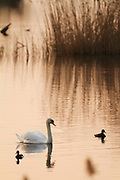 Mute swan in the late evening light, with ducks and reeds.