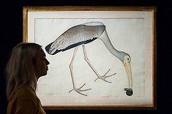 "© Licensed to London News Pictures. 13/10/2016. London, UK. A Sotheby's staff member views ""A study of a Stork"", from the Lady Impey Series, signed by Shaykh Zayn al-Din, Company School, Calcutta, dated 1781"" (est. GBP 60-80k), once part of the estate of Jacqueline Kennedy, at the preview of Sotheby's Art of the Middle East and India exhibition, which presents artworks to be sold in New Bond Street in four sales in October. Photo credit : Stephen Chung/LNP"