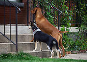 SHOT 9/28/2007 - Bella (left), a five month-old Australian Cattle Dog and Tanner (right) a three year old Vizsla peek in the front door of a neighbor's house in Denver, Co. The Australian Cattle Dog (ACD), also known as the Queensland Heeler, Blue Heeler, and Red Heeler, is a breed of herding dog developed in Australia for controlling cattle. It is a medium-sized dog with a lot of energy, intelligence and an independent streak. Bella was also playing with Tanner, a Vizsla, in the front yard. .(Photo by Marc Piscotty/ © 2007)