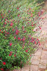 Salvia 'Jezebel' with Salix purpurea 'Nancy Saunders' AGM (Purple Osier Willow)