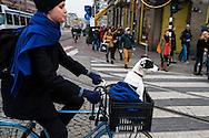 Nederland, Amsterdam, 18 nov 2013<br /> Damrak. Vrouw op de fiets met hondje voor op de fiets in een krat.<br /> Foto(c): Michiel Wijnbergh