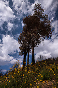 Wildflowers grow near the base of a charred tree as part of ecological succession along the Oracle Ridge Trail following the Bighorn Fire that started June 5, 2020, in the Santa Catalina Mountains, Sonoran Desert, Mount Lemon, Coronado National Forest, Summerhaven, Arizona, USA.