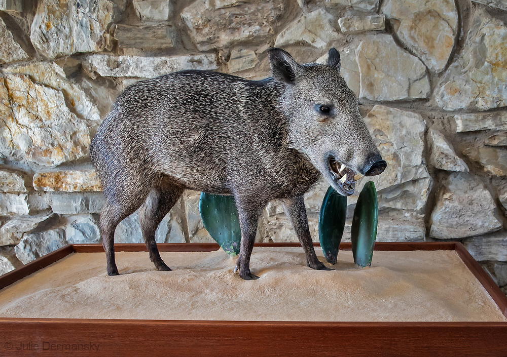 Javelina in welcome center in the Great Sand Dunes National Park & Preserve in the Permain Basin.