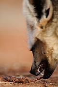 Bat-eared fox (Otocyon megalotis) | Gerade erst hat der Löffelhund (Otocyon megalotis) den Giftstachel des Skorpiones abgetrennt. Die so entwaffnete Beute wird nun wie andere, ungefährliche Mahlzeiten mit sehr schnellen Kaubewegungen zerbissen, bis sie sich nicht mehr regt. Erst dann wird sie endgültig aufgenommen und veschluckt. Das auffallend hektische Zubeißen (bis zu 5 Kaubewegungen in der Sekunde!) wird durch die anatomischen Besonderheiten der Kiefermuskeln und -gelenke ermöglicht.