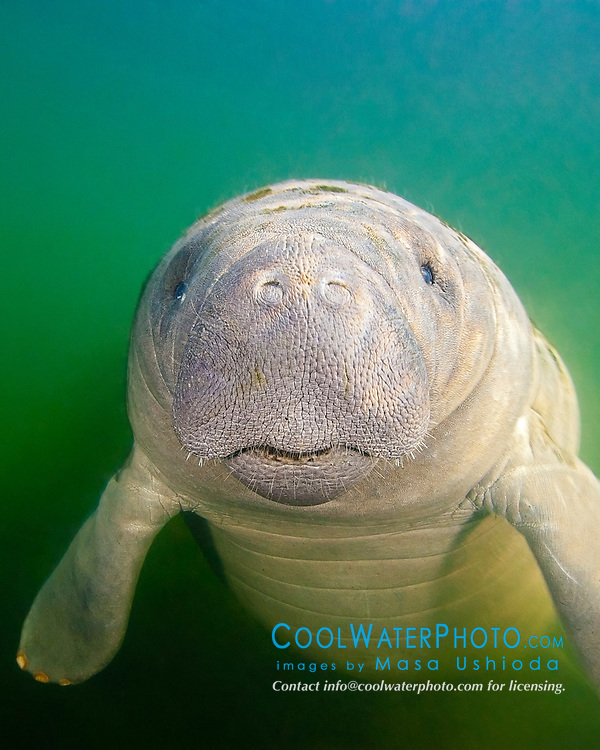 Florida manatee calf with neonatal folds, Trichechus manatus latirostris, endangered subspecies of the West Indian manatee, Kings Bay, Crystal River, Florida