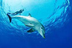 Tursiops aduncus, Indipazifischer Grosser Tuemmler und Taucher, Indian Ocean bottlenose dolphin and scuba diver, Abu Nuhas, Rotes Meer, Ägypten, Red Sea Egypt