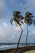 Coconut Palm (Cocos nucifera) & Magnificent Frigatebird (Fregata magnificens)<br /> Halfmoon Caye<br /> Lighthouse Reef Atoll<br /> BELIZE, Central America