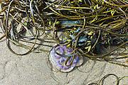Common Moon Jellyfish Aurelia Aurita, Sea Lace seaweed and Bladder Wrack at Spanish Point, Co. Clare, Ireland