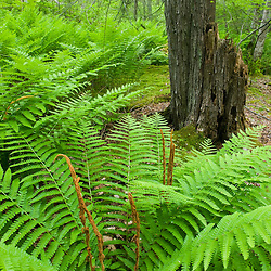 Cinnamon Ferns, Osmunda cinnamomea, in a swampy area of a forest in Gloucester, Massachusetts.