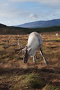 Wider view of a reindeer in the Cairngorm herd, showing the surrouding landscape.