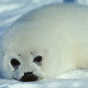 Harp Seal, (Pagophilus groenlandicus) Portrait of white coat pup on ice. Spring. Nova Scotia. Canada.