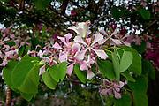 Hong Kong Orchid Tree, Hawaii