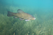 Tench<br /> <br /> Todd Pearsons/Engbretson Underwater Photography