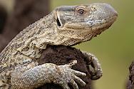 Monitor lizard, Varanus albigularis, Tarangire NP, Tanzania