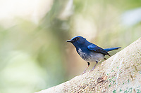 The Hainan blue flycatcher (Cyornis hainanus) is a species of bird in the family Muscicapidae. Its natural habitat is subtropical or tropical moist lowland forests.