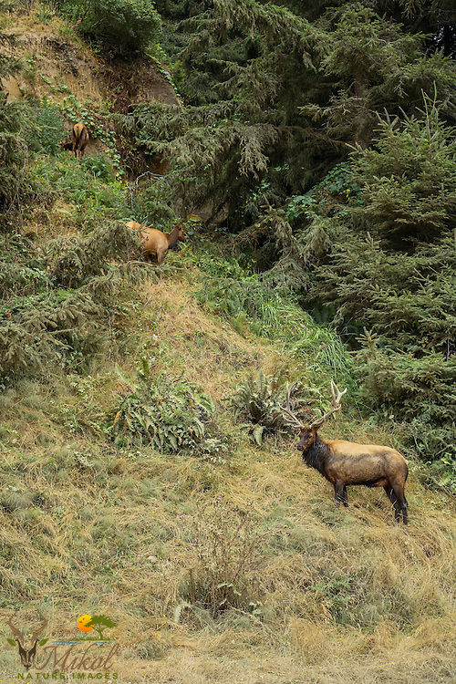 Urine-soaked Bull elk in rut standing on hill, guarding harem