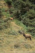 Urine-soaked Bull elk in rut standing on hill, guarding harem