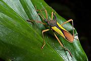 Double-horned Bug (Euagona diana Dallas)<br /> Yasuni National Park, Amazon Rainforest<br /> ECUADOR. South America<br /> HABITAT & RANGE: