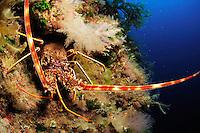Common Spiny Lobster (Palinurus elephas)   Languste, Gozo, Maltese Islands