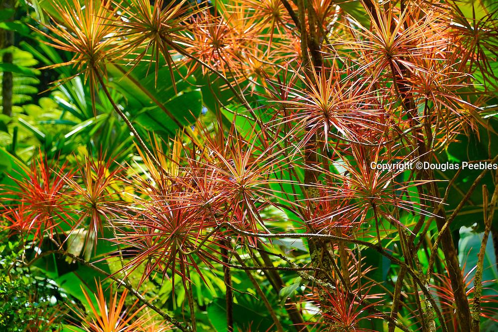 Money tree, Hawaii Tropical Botanical Garden, Hilo, Hamakua Coast, Big Island of Hawaii