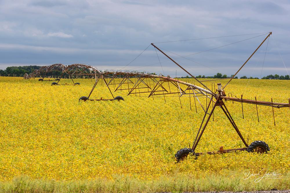 Ripening soy and irrigation line, Detroit Lakes, Minnesota, USA