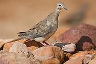 Mourning Dove - Zenaida macroura - juvenile