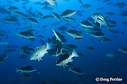 spawning aggregation of Nassau groupers, Epinephelus striatus ( Endangered Species ) with males in bicolor phase with white stripe through eye, a horse-eye jack, Caranx latus, also swims through school, Lighthouse Reef Atoll, Belize, Central America ( Caribbean Sea )