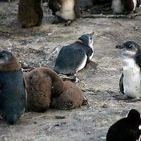 Africa, South Africa, Simons Town, Boulders Beach. African Penguin chicks at Boulders Beach near Simons Town on False Bay.