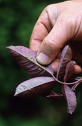 Picking greenfly off a leaf