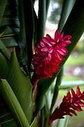 Red ginger, Taveuni, Fiji