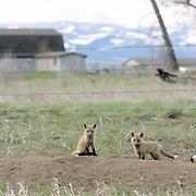 Red Fox, (Vulpus fulva) Kits near barbed wire fence near farm yard. Spring. Montana.