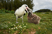 A Laysan Albatross (Phoebastria immutabilis) about to regurgitate its food to its chick. Midway Atoll National Wildlife Refuge.