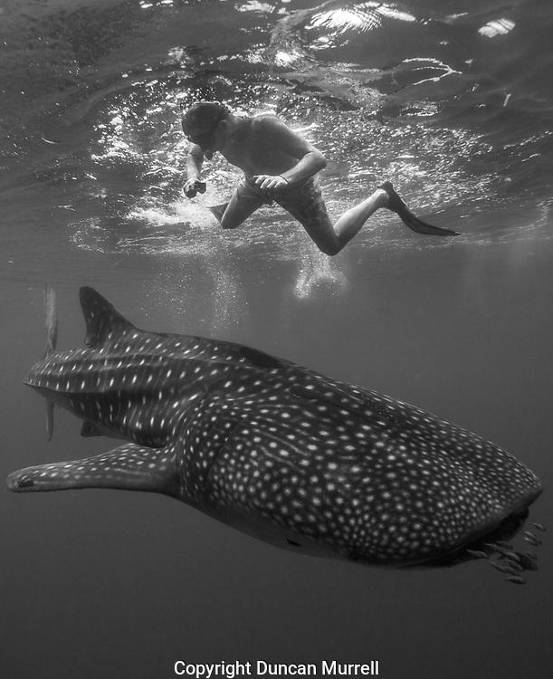Juvenile whale shark (Rhincodon typus) swimming below snorkeller, Honda Bay, Palawan, the Philppines