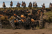 Ecuadorian Chagras (Cowboys) bringing in Cattle during the annual Rodeo<br /> Hacienda Chictapamba - which produces bulls for bull fights<br /> Paramo (High Andean Grasslands)<br /> Base of Cotopaxi Volcano, Andes<br /> ECUADOR.  South America