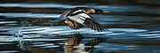 Escaping Red-breasted Merganser | Siland i flukt.