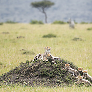 """This cheetah mother is photographed (on a termite mound) with her five cubs this particular afternoon in the Mara Triangle, Africa. <br /> <br /> *For all details about sizes, paper and pricing starting at $85, click """"Add to Cart"""" below."""