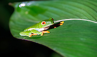 Red eyed tree frog taken in the widlife at Night in Costa Rica