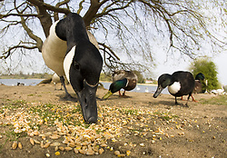 July 21, 2019 - Geese Eating Nuts On Shore (Credit Image: © John Short/Design Pics via ZUMA Wire)