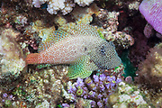 Leopard or short bodied Blenny (Exallias brevis) on tropical coral reef - Agincourt reef, Great Barrier Reef, Queensland, Australia. <br />