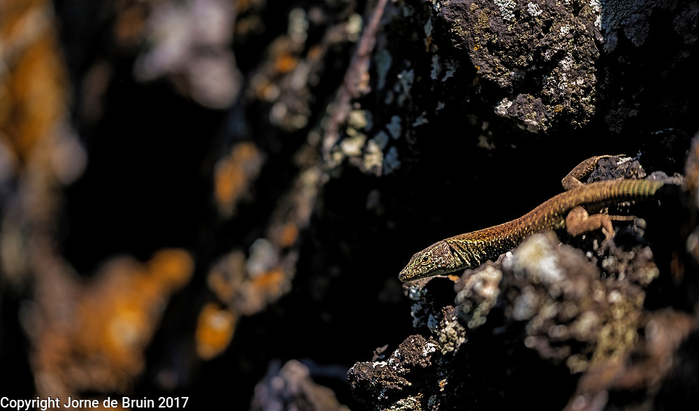 A small lizard on a stony wall. Azores, Portugal