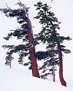 Winter view of wind-sculpted western white pine, Pinus monticola, and red fir, Abies magnifica, along the shore of Pear Lake, backcountry of Sequoia National Park, California.