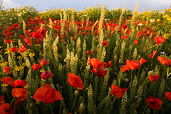 Poppies bloom in the Salentine countryside.