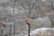 A single, orange dragonfly on a burnt branch after a forest fire