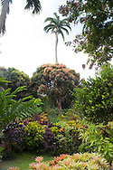 A densely planted area of Cordiaeum (Croton) under Mangifera indica (Mango Tree) and Roystonea regia (Royal palm) inThe Tower Garden, St. Paul's, Grenada, the Caribbean, West Indies