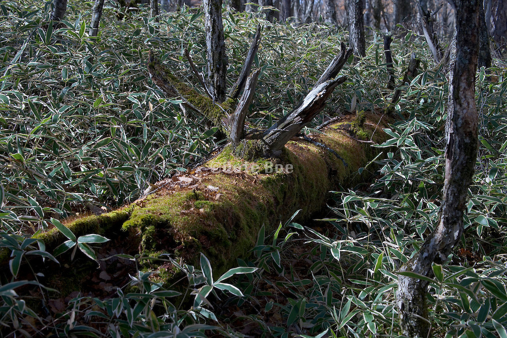 old decomposing tree trunk covered with moss Japan