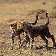 Cheetah, (Acinonyx jubatus) Cubs playing together on plains. Masai Mara Game Reserve. Kenya. Africa.