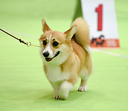 Welsh Corgi Pembroke in a dogshow