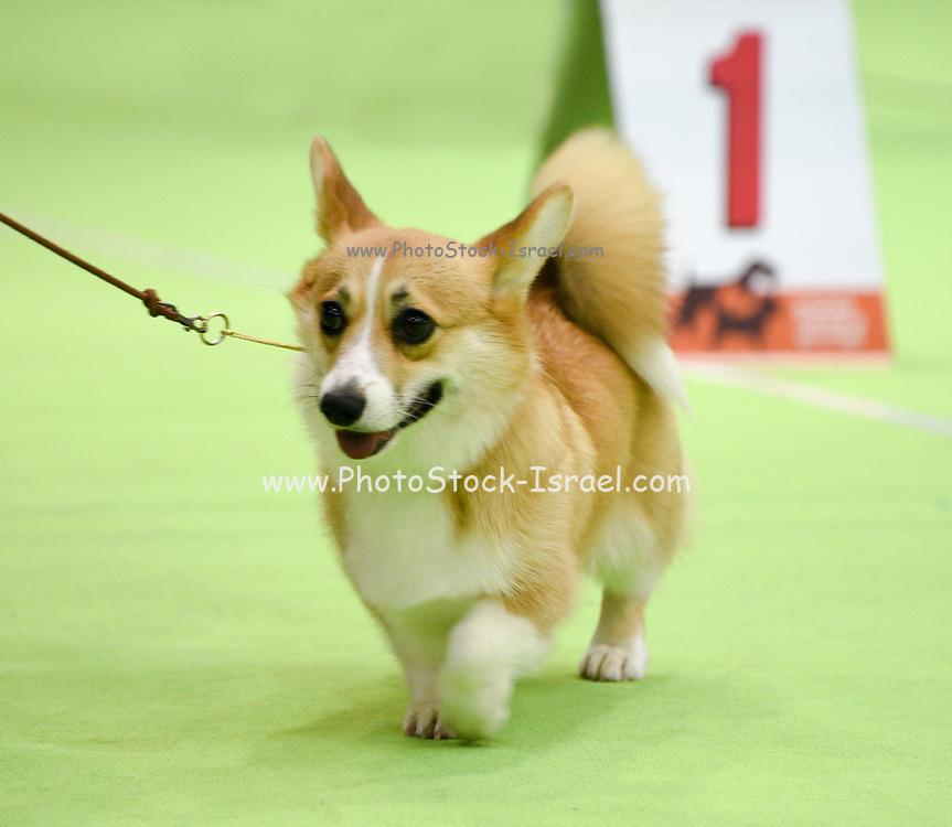 Welsh Corgi Pembroke in a dogshow